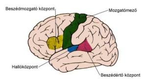 emberi agy1