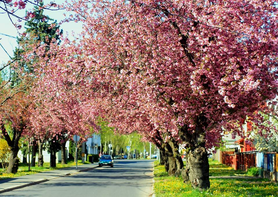 nagykanizsa japán cseresznye tavasz utca